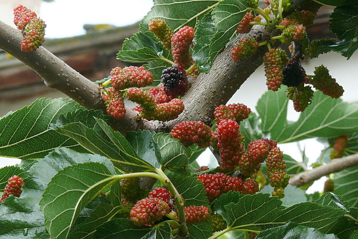 f75ba39e97 Mulberry trees are easy to grow and there are several varieties to choose  from. Learn