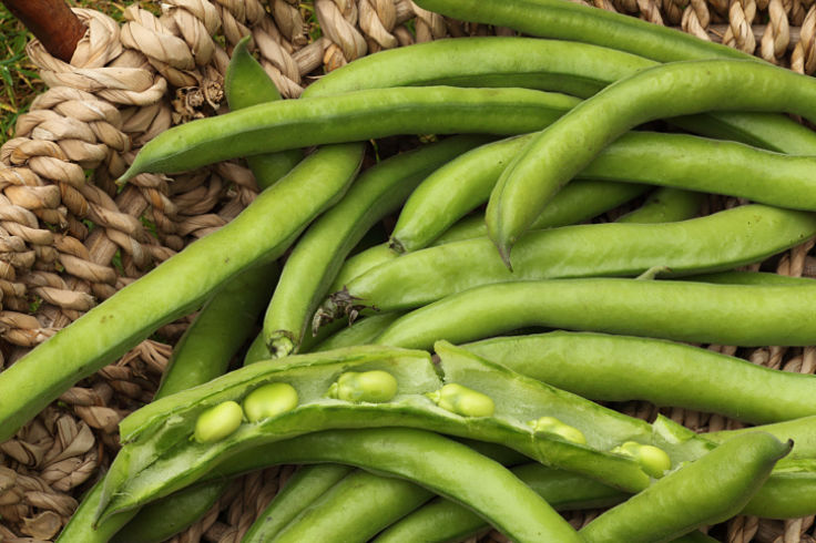 Lovely broad beans freshly picked from your garden - a homegrown delight!