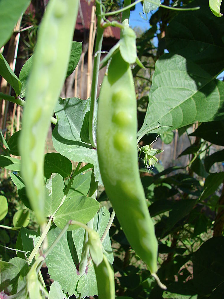 Snap peas and snow peas need to be picked every day as they are eaten whole, pods and all