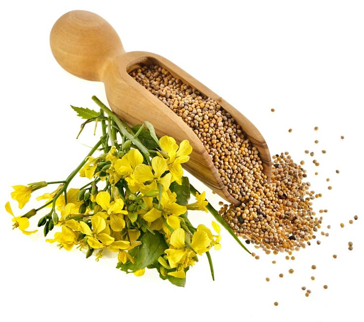Lovely mustard oil seeds - Discover this health benefits in this article