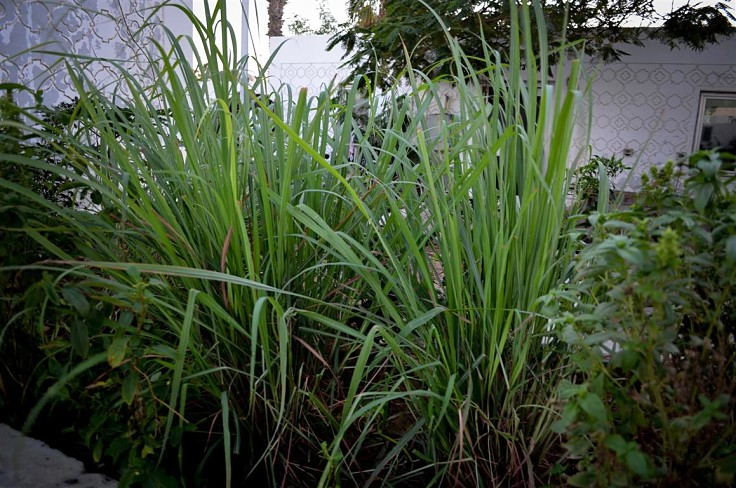 Lemongrass is easy to grow in the home garden