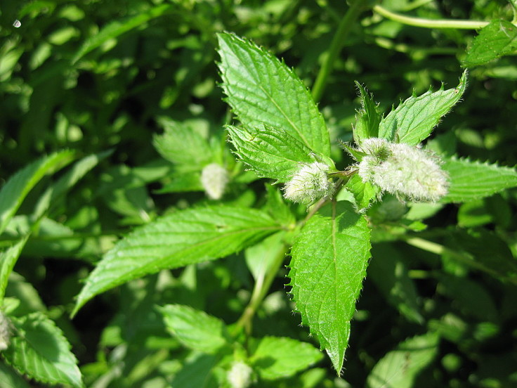 Peppermint Plants are easy to grow in your own garden