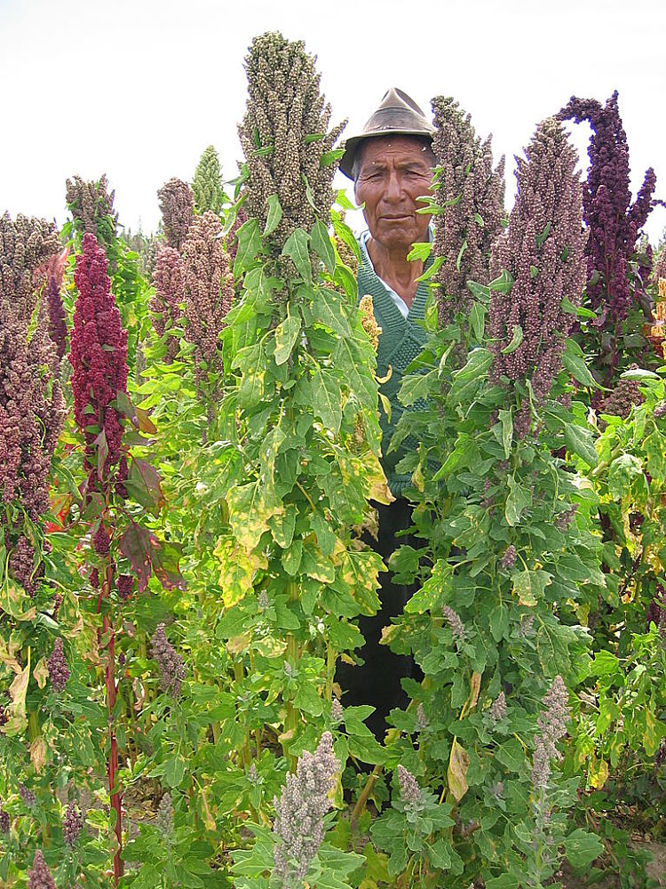 Quinoa is a reed or rush like plant with tiny seeds rather than a cereal crop like corn
