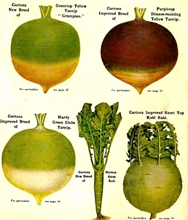 Turnips come in many varieties. The green tops are very nutritious and are under utilised